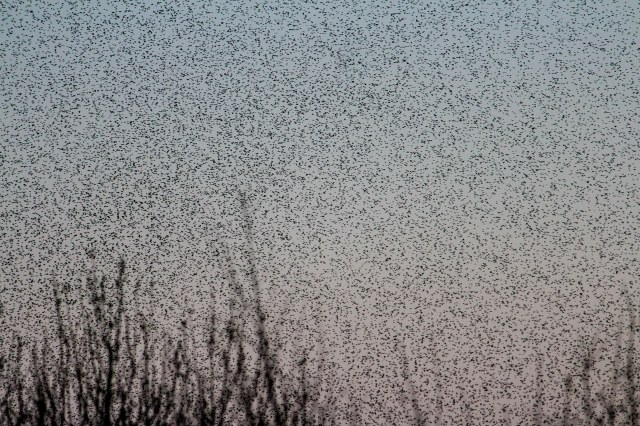 Starlings seen from Ham Wall