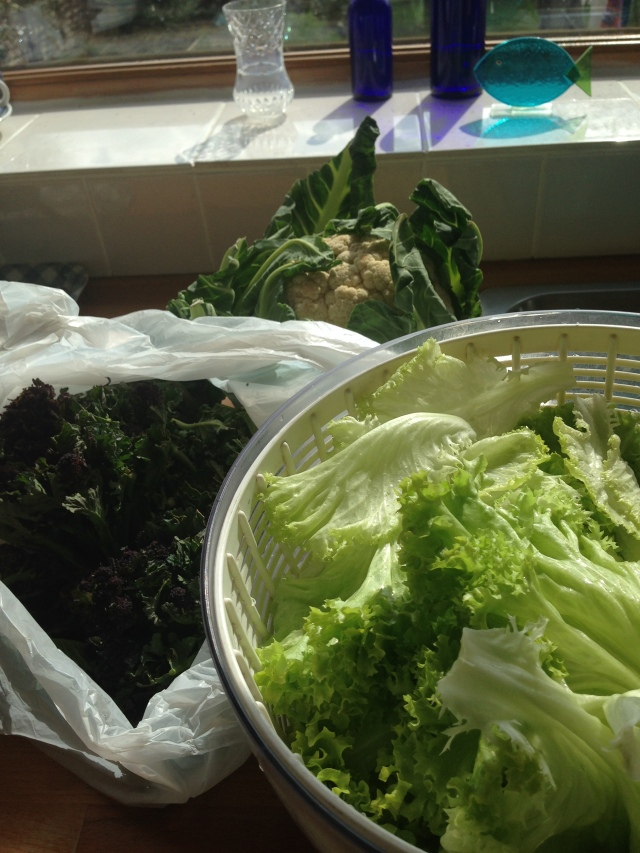 This week: lettuce, purple sprouting, and a small cauliflower