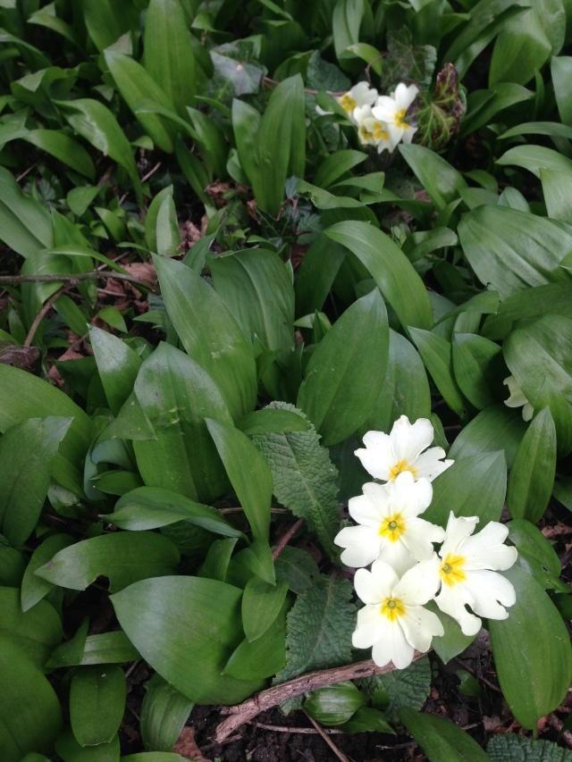 Primroses with wild garlic leaves