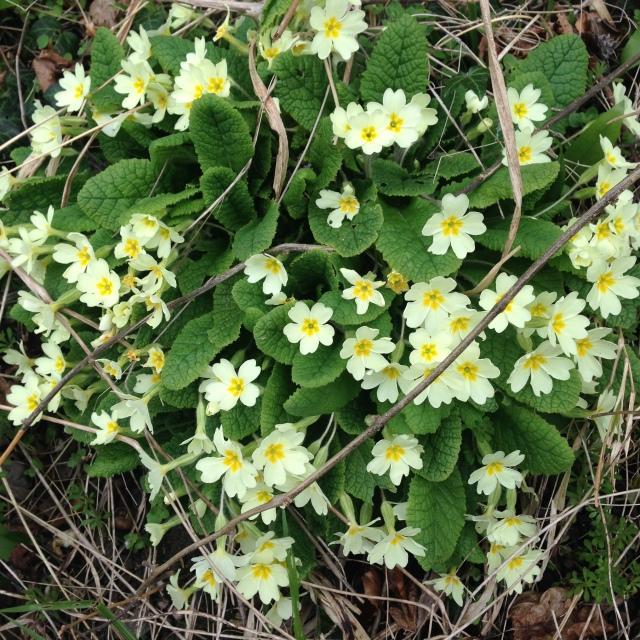 Clump of primroses