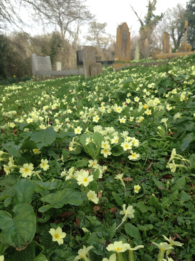 Carpet of primroses in graveyard