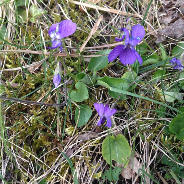 Wood violets