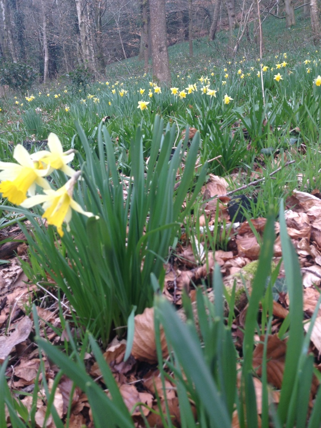 Wild native daffodils in woodland, Stourhead Estate