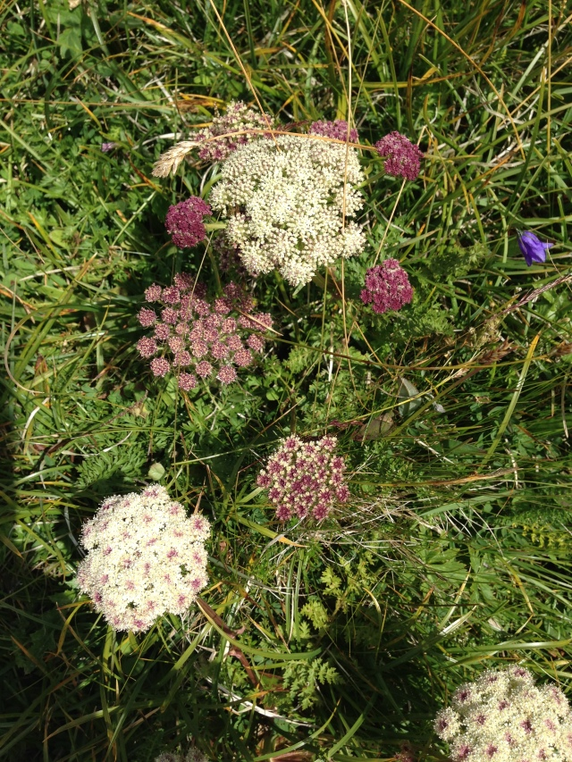 Wild flowers, Dolomites