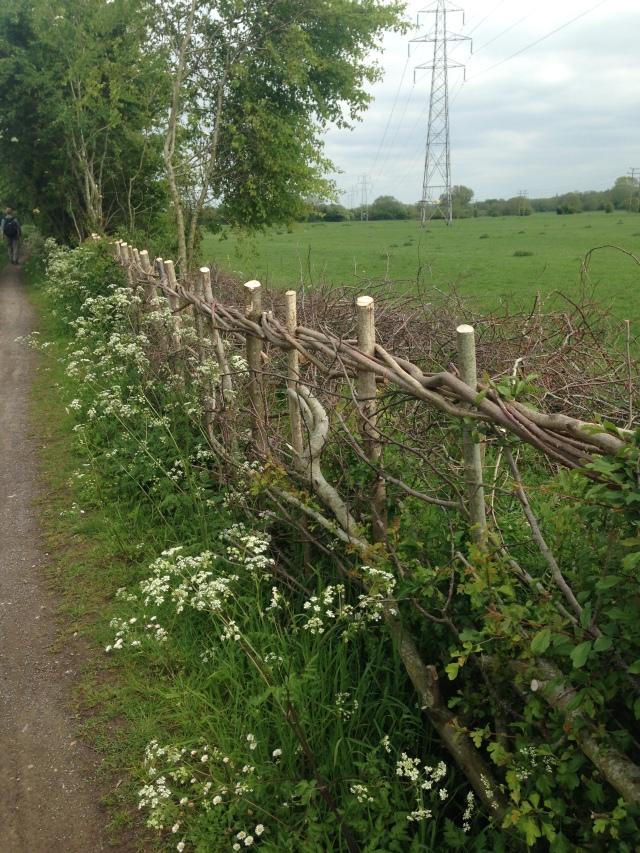 Beautifully laid hedge alongside the towpath